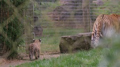 4K Mother tiger walking through enclosure at wildlife park with cub following Stock Footage