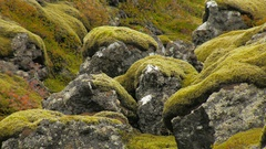 Pieces of old lava covered vivid green moss, close up shot Stock Footage