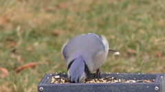 Blue Jay Eating On A Feeder Stock Footage
