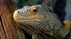 Close-up of iguana lizard Stock Footage