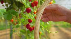 Picking strawberries in basket Stock Footage