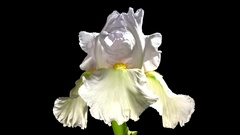 Beautiful white flower blooms. Iris blooms time lapse Stock Footage