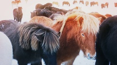 Pretty black and rufous Icelandic horses Stock Footage