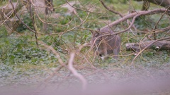 4K Wallaby at wildlife park in the UK. No people.  Stock Footage