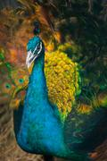 Peacock with a straw in its beak Stock Photos