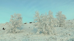 Snow-covered bushes swaying in the wind. Stock Footage