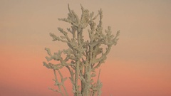 Snow covered trees on a background of pink sunset sky. Stock Footage