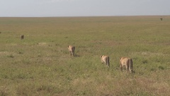 CLOSE UP: Lionesses in herd walking in line through infinite savannah grassland Stock Footage
