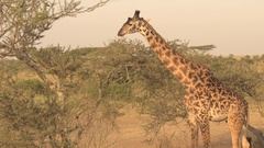 CLOSE UP: Giraffe browsing on spiny, thorny, leafy branches in safari game park Stock Footage