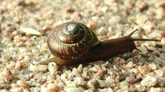 Brown snail crawling on the small rocks. Stock Footage