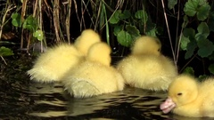 Close up of young duck chicks in water large group of fluffy yellow birds 4k Stock Footage