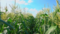 Camera travel along a corn field Stock Footage