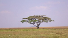 AERIAL: Majestic solitary acacia tree standing in the middle of safari landscape Stock Footage