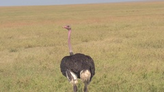 CLOSE UP: African ostrich standing in open field turning his head around looking Stock Footage