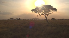 CLOSE UP: Big lush acacia tree against golden setting sun in African wilderness Stock Footage