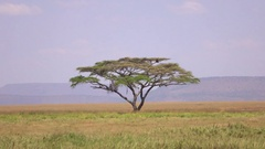 CLOSE UP: Solitaire acacia tree growing in the middle of vast Serengeti plains Stock Footage