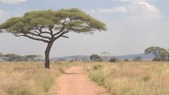 CLOSE UP: Dusty safari road leading through grassy savanna field towards acacias Stock Footage