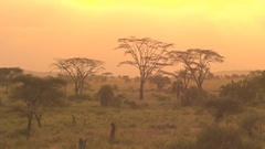 AERIAL: Acacia woodland and palm savanna against fiery red and orange sunset sky Stock Footage