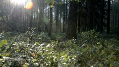 Panorama blueberry clearing in the pine forest Stock Footage