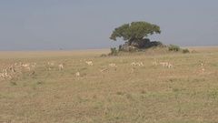 AERIAL: Gazelles pasturing in grassland open field herding around granite kopje Stock Footage