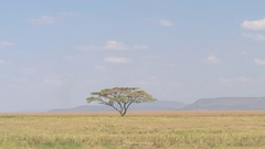 Beautiful lonely acacia tree growing in the middle of infinite Serengeti plains Stock Footage