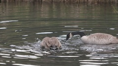 Geese Syncronized Swimming Dance Bath Stock Footage