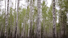 Birch woods grove in the forest Stock Footage