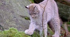 European young lynx cat walks and sits down in the forest Stock Footage