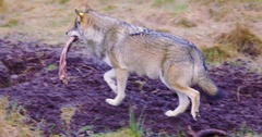 Wolf walking with a meat bone in the mouth Stock Footage