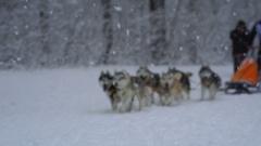 Husky race outdoors in winter Stock Footage