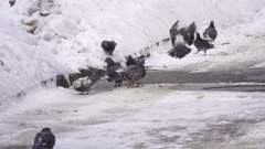 Flock of doves fly to the food that is scattered on the ground in slow motion Stock Footage
