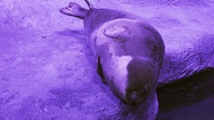 Funny Ringed seal trying get to sleep stock footage video Stock Footage