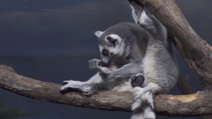 Funny Ring-tailed lemur licking its fur on tree branch stock footage video Stock Footage