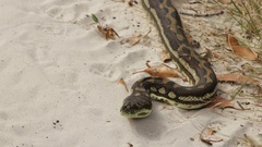 Australian python snake lying in sand Stock Footage