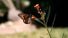 Monarch Butterfly Flying to Branch on Milkweed Super Slow Motion Stock Footage