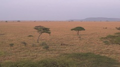 AERIAL: Acacia trees spread widely over endless savannah plains at sunrise Stock Footage