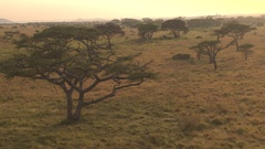AERIAL: Beautiful Serengeti plains and savanna in misty golden light morning Stock Footage