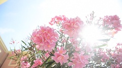 Pink flowers on a tree in Monterosso al Mare in the Cinque Terre region of Ligur Stock Footage