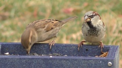 House Sparrows (Passer domesticus) Stock Footage