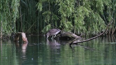 Night Heron in the lake of Rieti Reserve in Italy Stock Footage