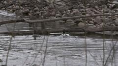 Duck Pair Dilemma Choice Over Under Log Stock Footage