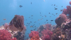 Pharaoh cuttlefish. Exciting underwater diving in the Andaman sea. Thailand. Stock Footage