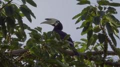 Hornbills of Nipah Bay Stock Footage