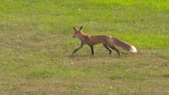 Fox Patiently Stalks Prey in Meadow Stock Footage