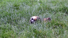 Guinea pigs in the grass Stock Footage