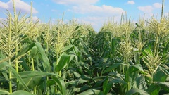 Pass along the corn field Stock Footage