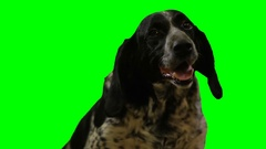Dog head on a green screen Stock Footage