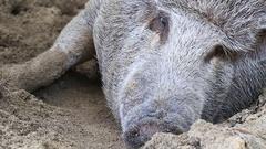 Red Mangalitsa or wooly pig asleep in sand, close up. Koh Phangan, Thailand Stock Footage