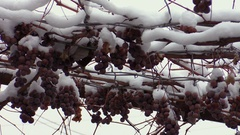Grapes in the snow Stock Footage