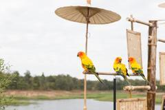 Sun Parakeet or Sun Conure, the beautiful yellow and orange parrot bird wit.. Kuvituskuvat